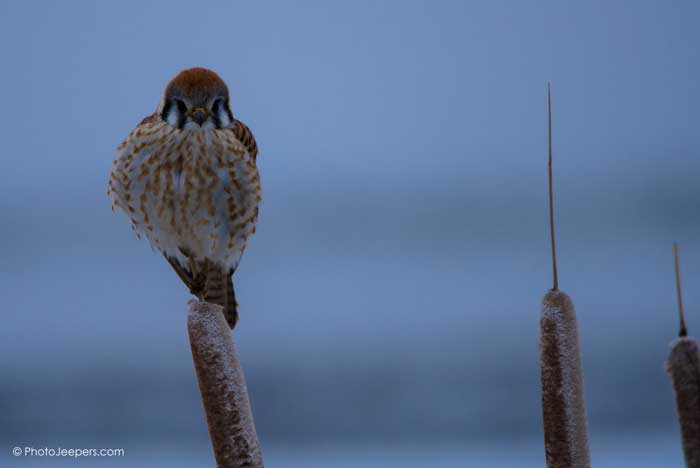 A Peregrine Falcon perched on a cattail.