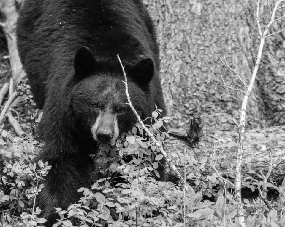 Black and white photo of a black bear in Yellowstone