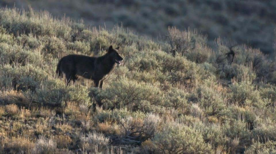 Black wolf on a hillside in Lamar Valley in Yellowstone National Park