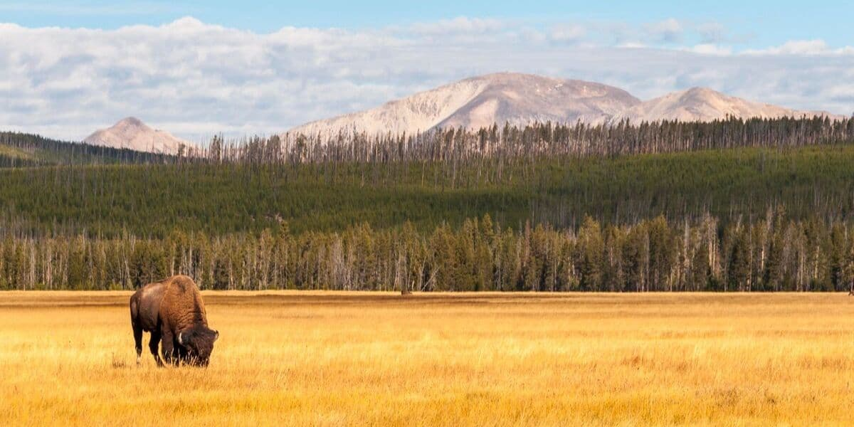 Bison in a golden field at Yellowstone National Park in October.