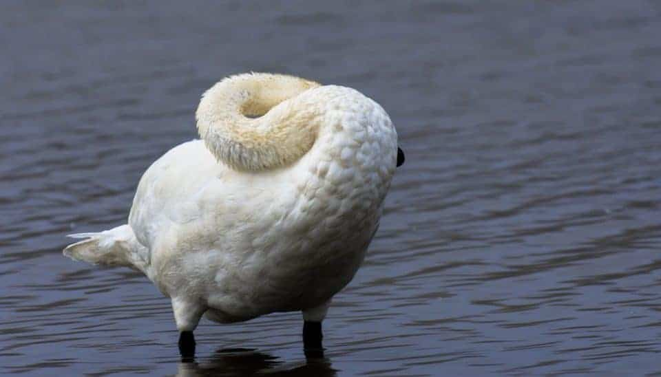 swan on the lake preening with neck curved around at Yellowstone National Park
