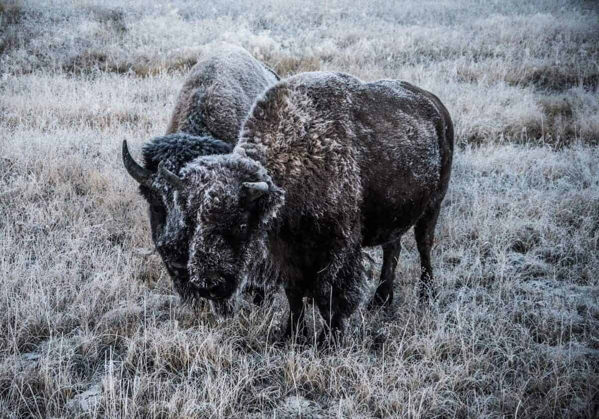 Two bison covered in frost at Yellowstone.
