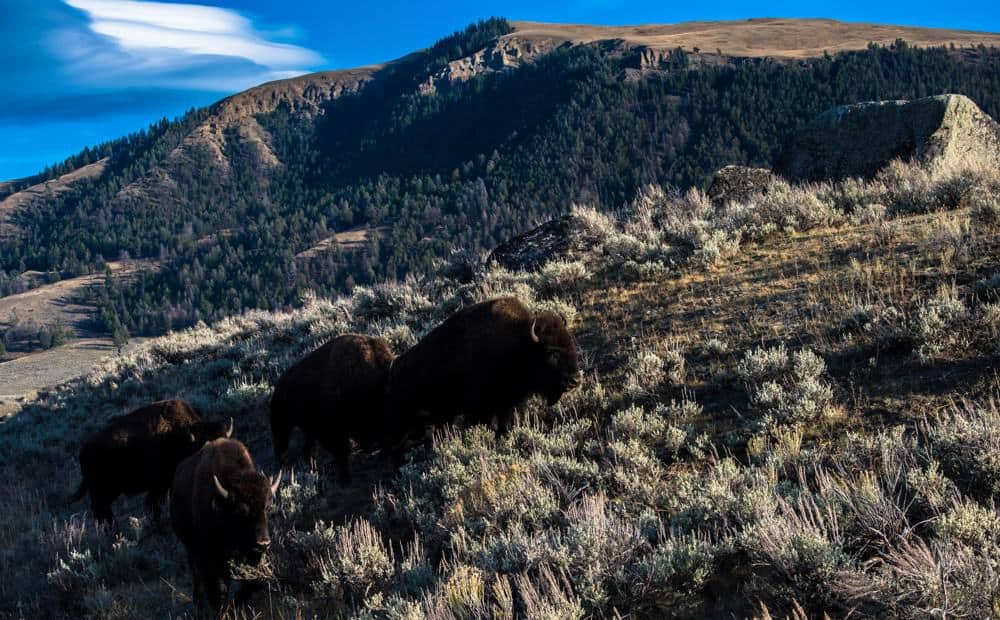 Two bison walking up a hill in Yellowstone National Park