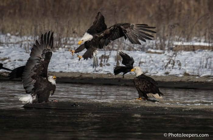 A battle scene with one eagle swooping with talons stretched to take a fish away from another eagle captured while on a Bald Eagle Photography Tour