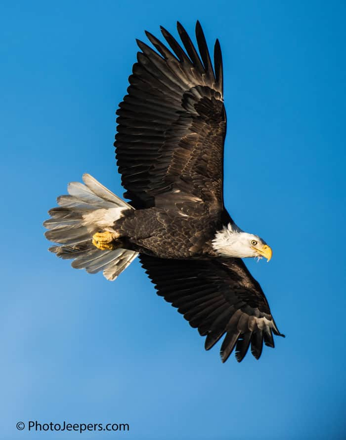 Bald Eagle Photography Tour captures an eagle soaring with its wings spread out.