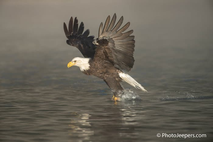 Bald Eagle Photography Tour captures an eagle plucking a fish from the river.