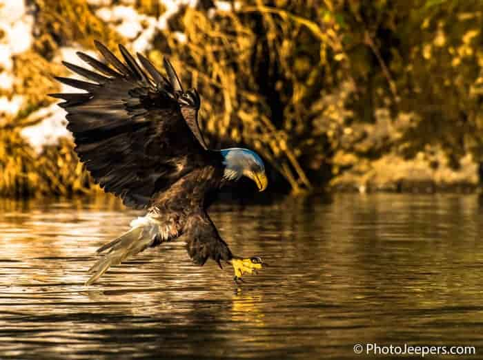 Bald Eagle with talons out ready to grab a fish from the Skagit River in Washington