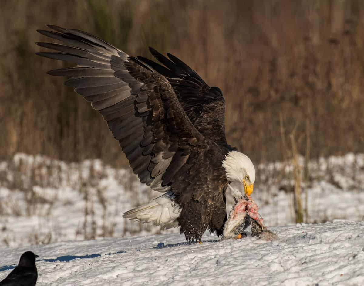 bald eagle eating fish on the snowy ground