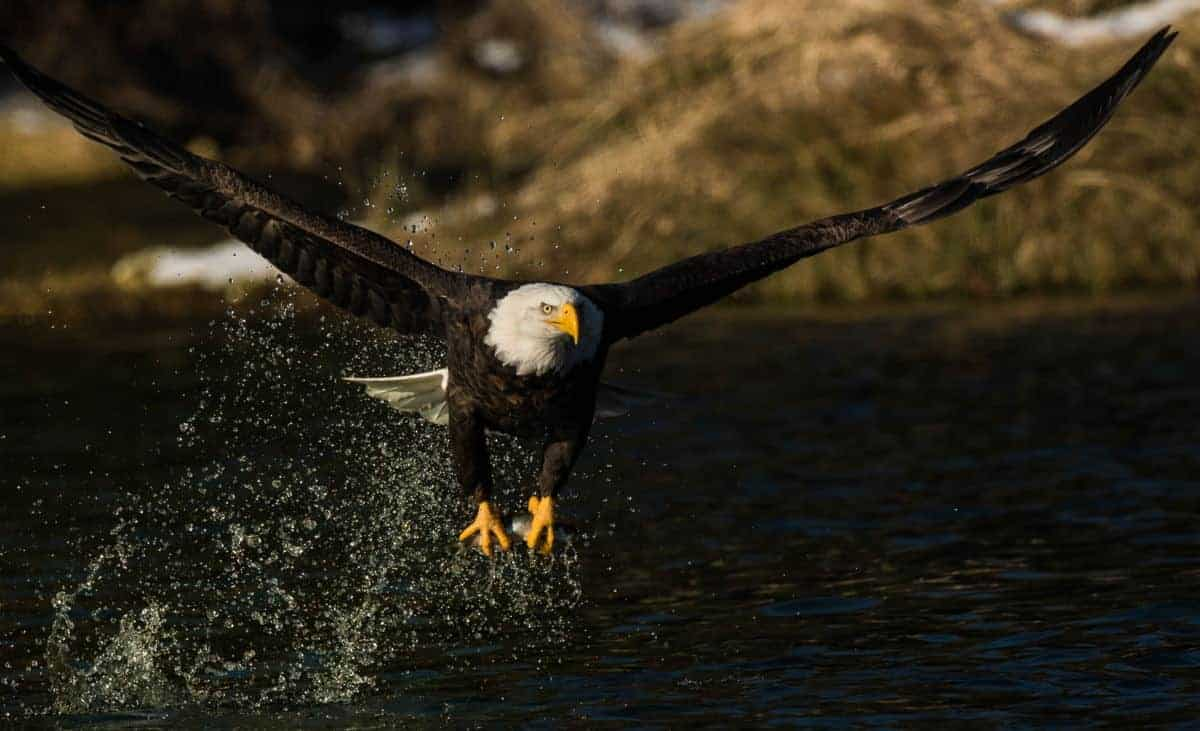 bald eagle catching a fish out of the river