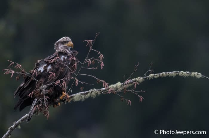 Juvenile bald eagle perched on a branch taken on a Bald Eagle Photography Tour