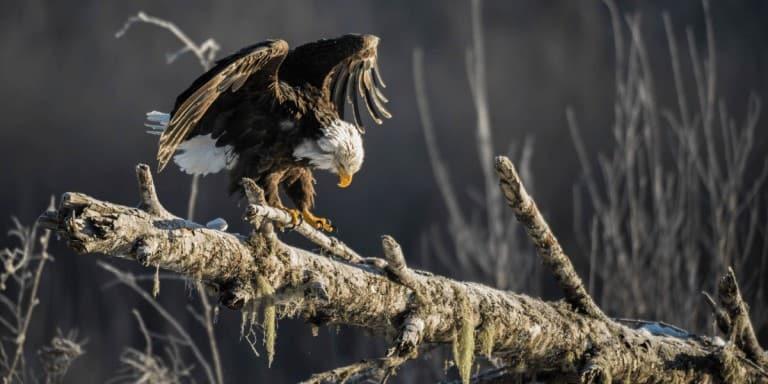 Bald Eagle Photography Tour in Washington State