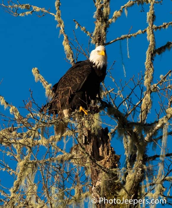 Bald Eagle Photography Tour captured a bald eagle perched in a mossy tree along the Skagit River in Washington.