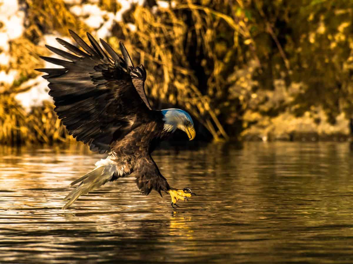 Bald eagle swooping down to catch a fish in the Skagit River on a photography tour.