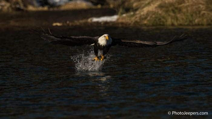 Bald eagle catching a fish from the river with its talons taken on a Bald Eagle Photography Tour