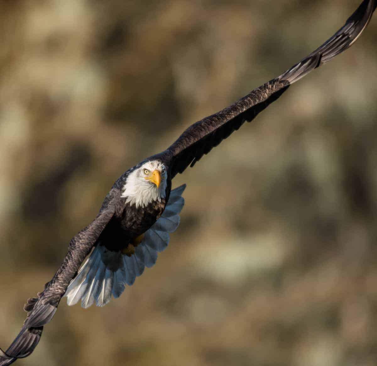 Bald eagle in flight above the Skagit River, Washington.