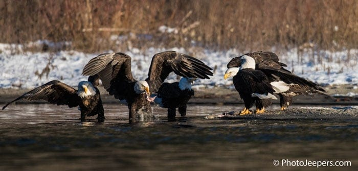 Five bald eagles fighting for a fish along the river edge taken on a Bald Eagle Photography Tour