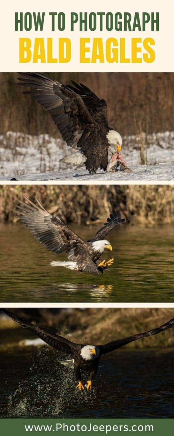 How to photograph bald eagles. Bald eagle photography tours are awesome. Techniques, camera settings and camera gear to photograph bald eagles. #photography #eagles #baldeagles #photojeepers