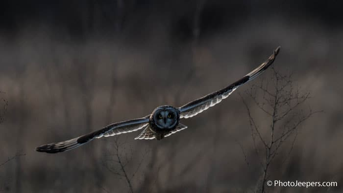 Short eared owl in flight photographed on a Bald Eagle Photography Tour.