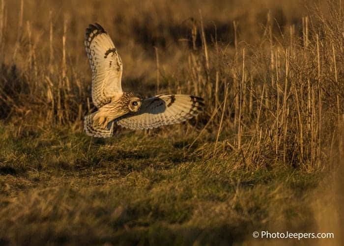 Short eared owl in flight with wings spread out photographed on a Bald Eagle Photography Tour.