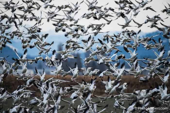 Hundreds of snow geese in flight