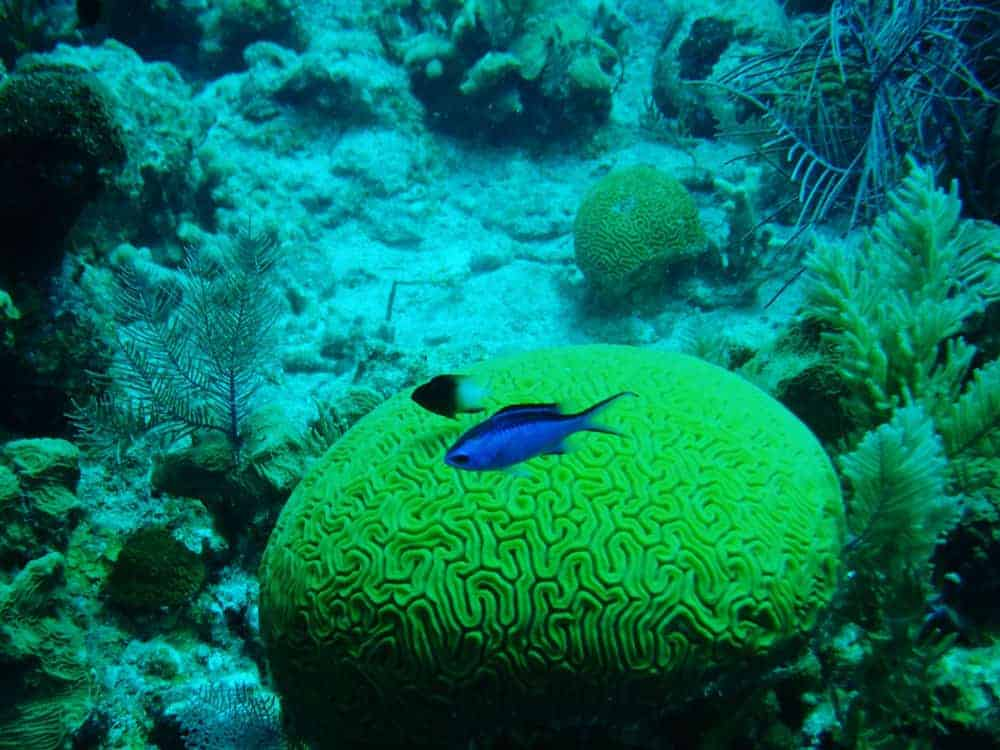 underwater green coral with a blue fish swimming by