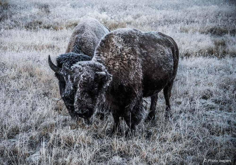 Two bison with frost at Yellowstone National Park, USA