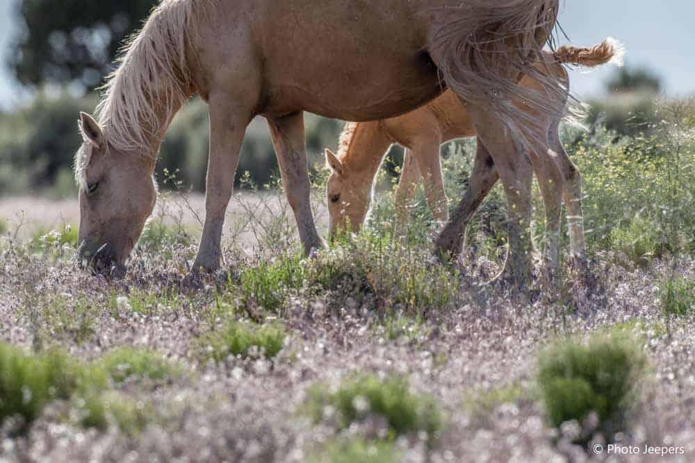 Wild horses near Hovenweep National Monument in Utah