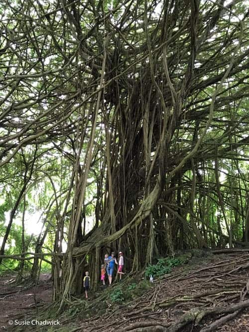 Kids playing on the banyan trees - Big Island of Hawaii with kids