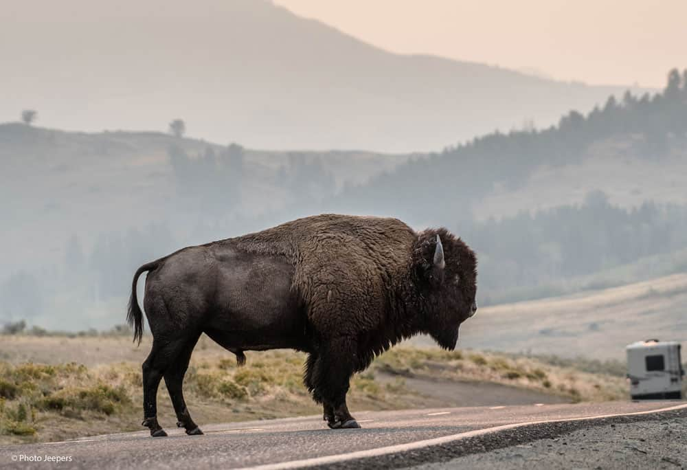Bison in the road at Yellowstone National Park.