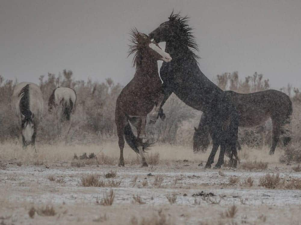 Two wild horses on hind legs fighting each other on a snowy day.