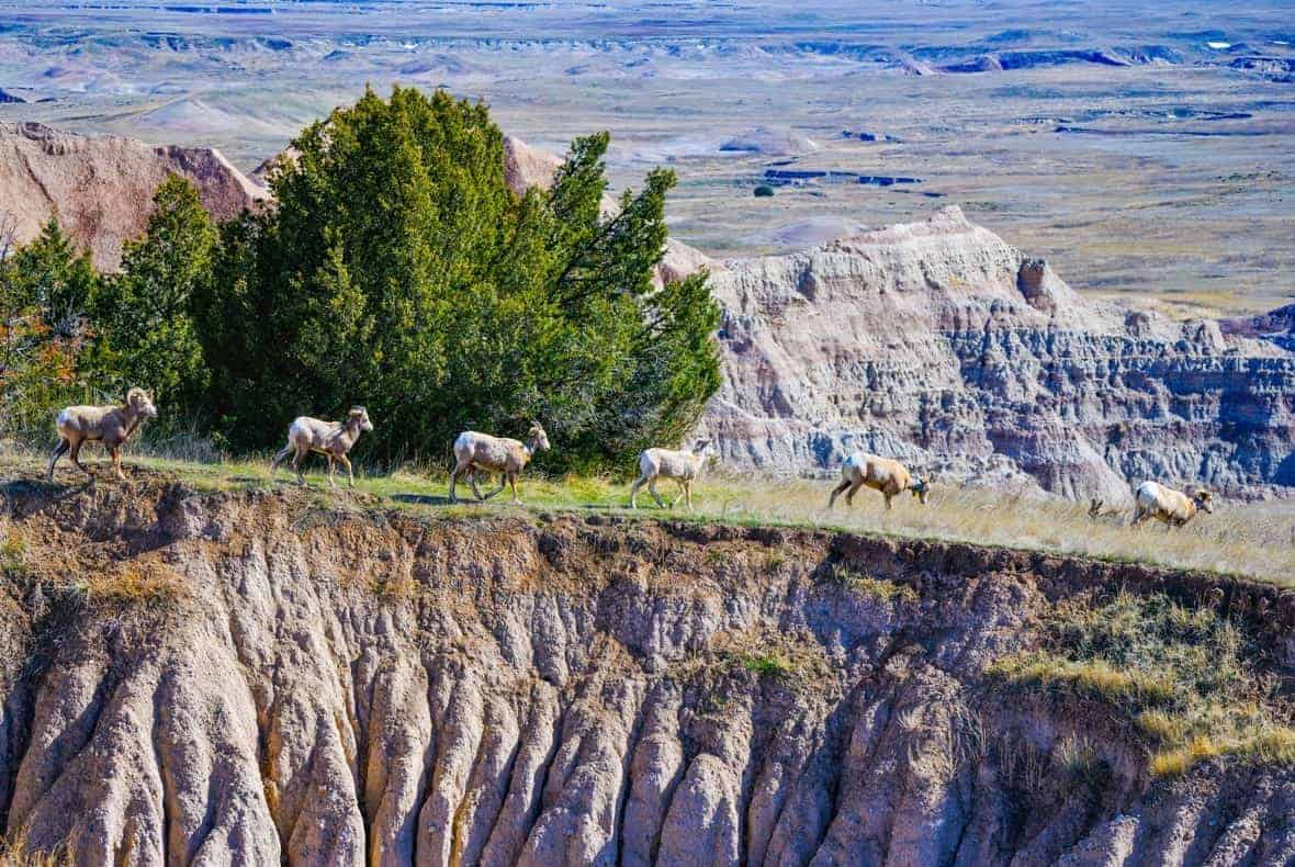 Big horned sheep along a ridge at Badlands National Park - US National Park List: 25 Beautiful Parks to Visit