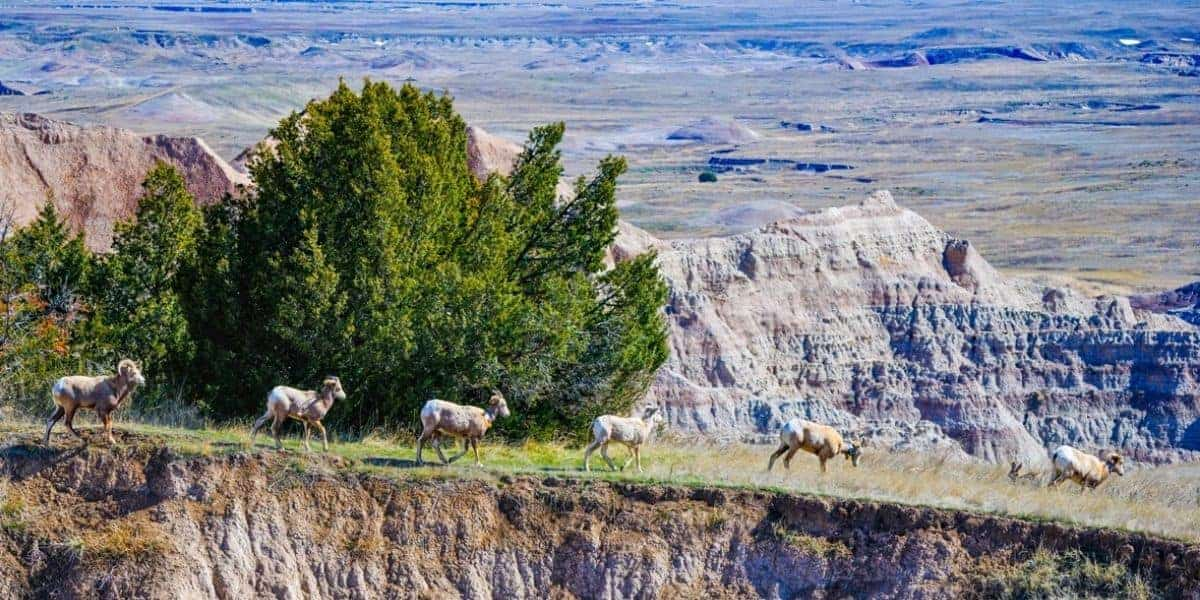 A group of big horn sheep at Badlands National Park.