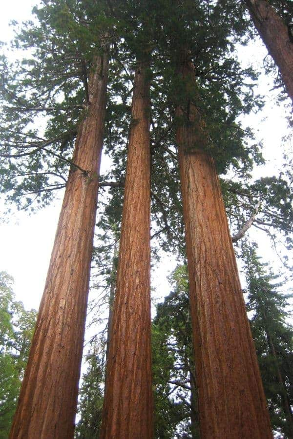 Famous sequoia trees at Sequoia National Park.