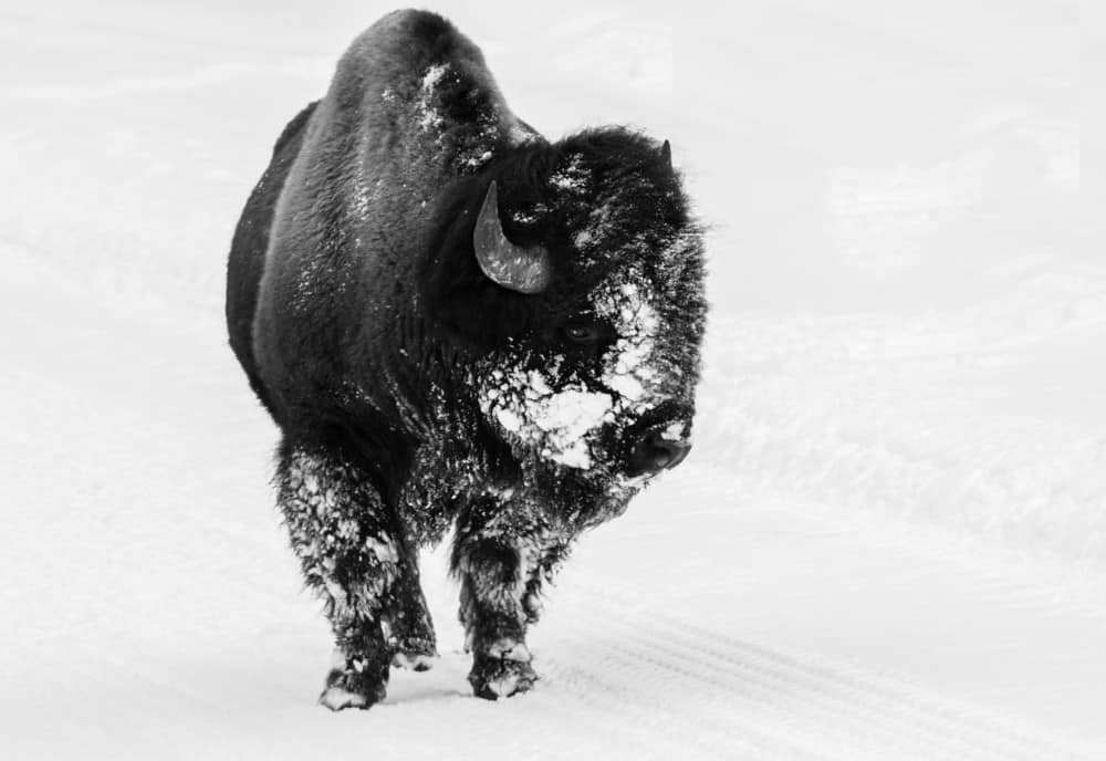 A bison with a snowy face walking down a snow packed road in Yellowstone during the winter.