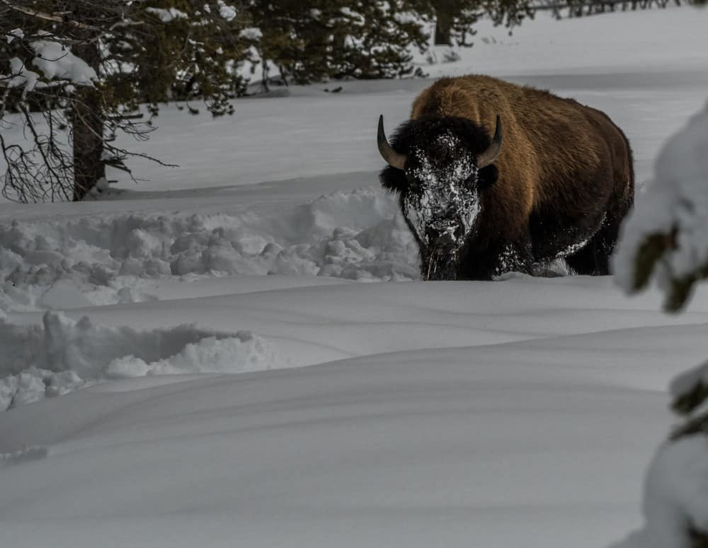 A bison with a snowy face standing in snow in Yellowstone during the winter.