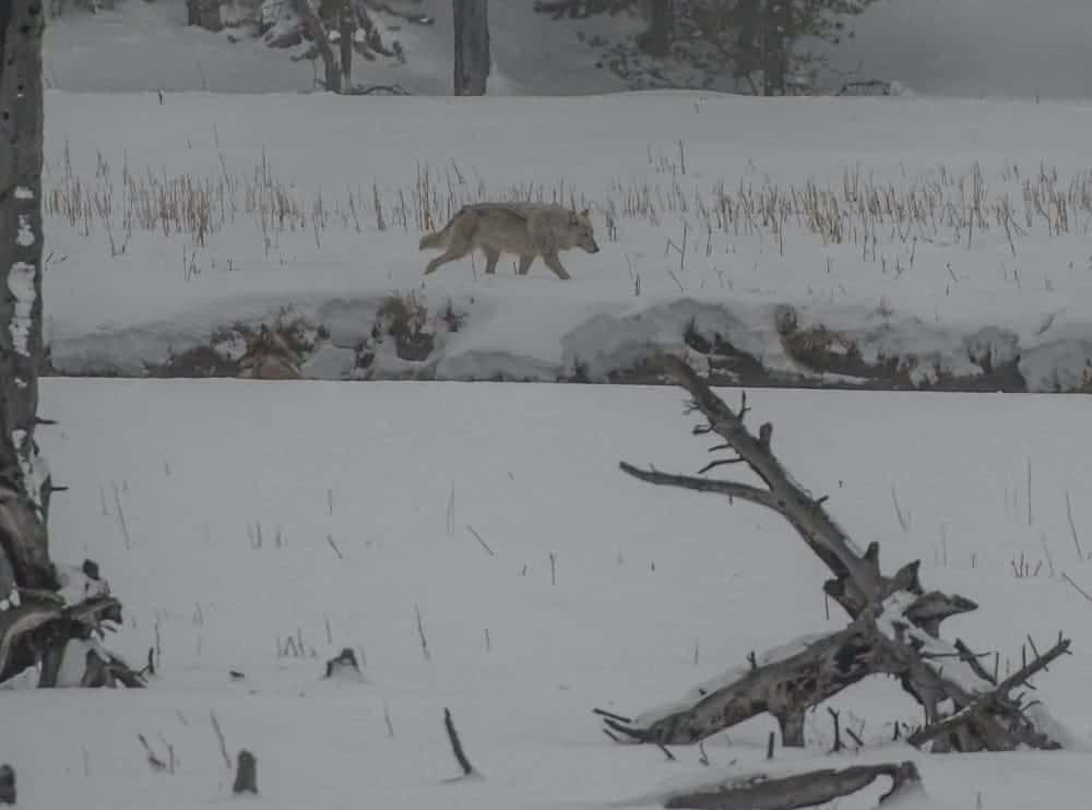 wolf walking in the snow at Yellowstone in the winter