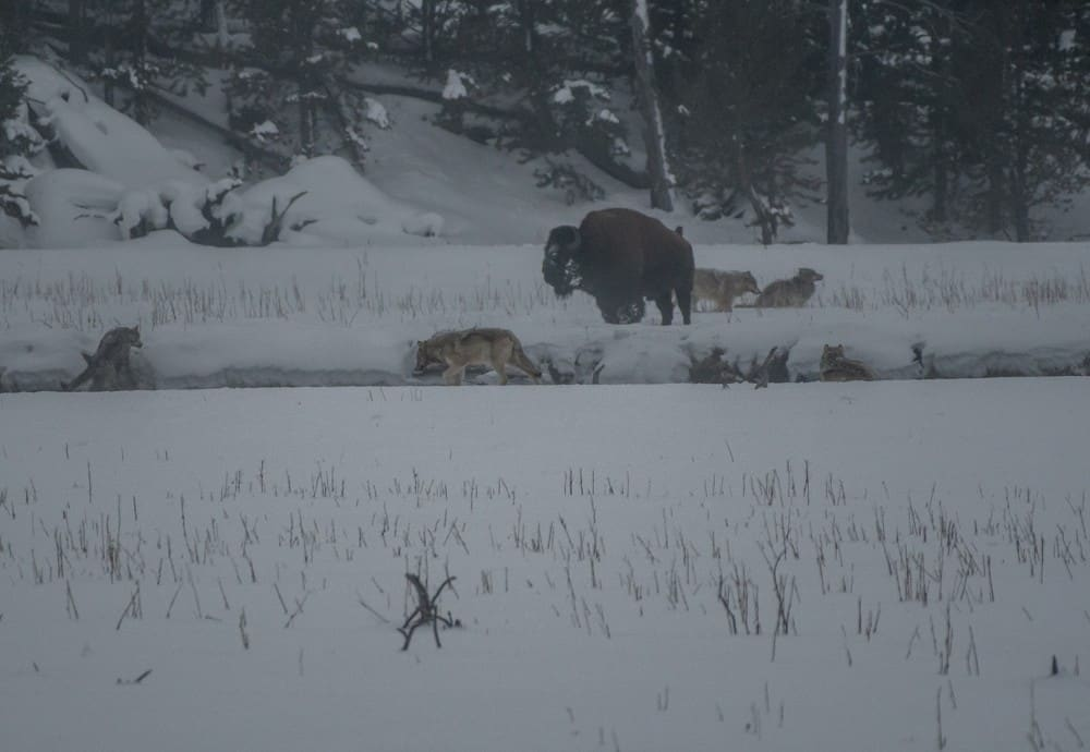 wolves near a bison in the snow at Yellowstone in the winter