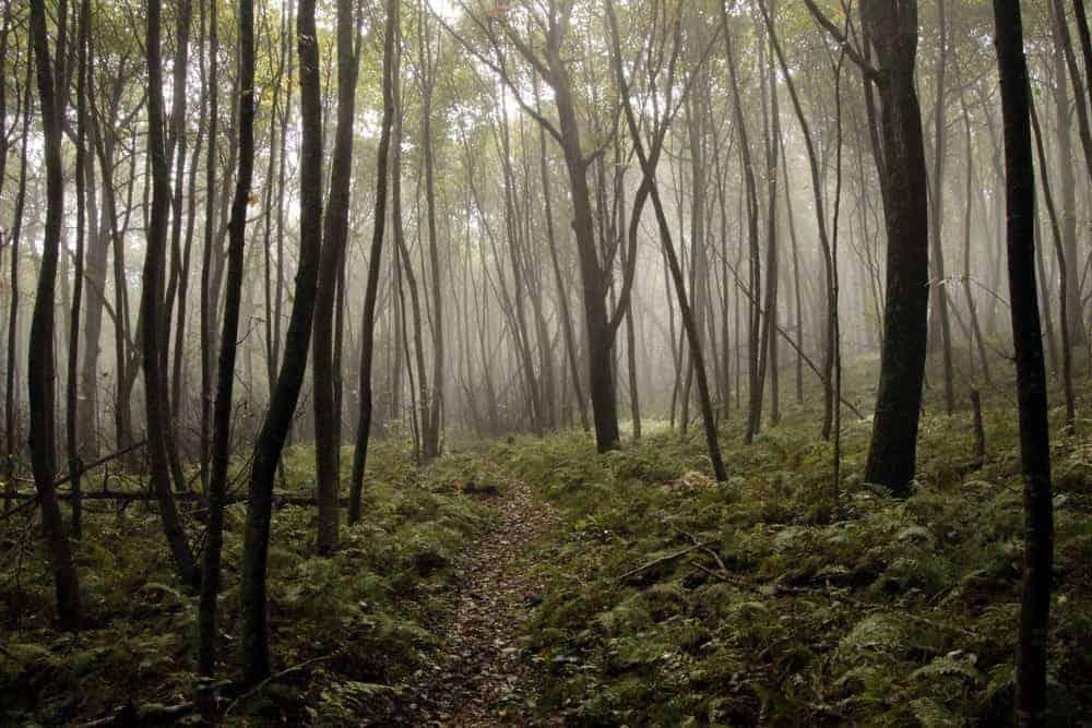 misty forest tree trunks at Shenandoah National Park: National Parks with kids