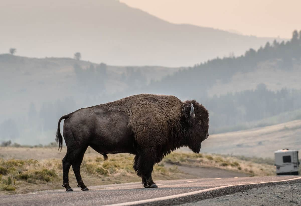 Bison standing on the road in Yellowstone.