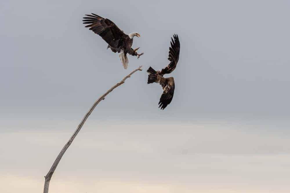 Bald eagle chasing off a juvenile eagle