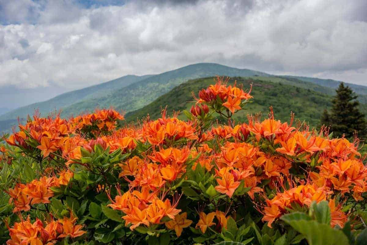 Flaming azaleas at Great Smoky Mountain National Park.