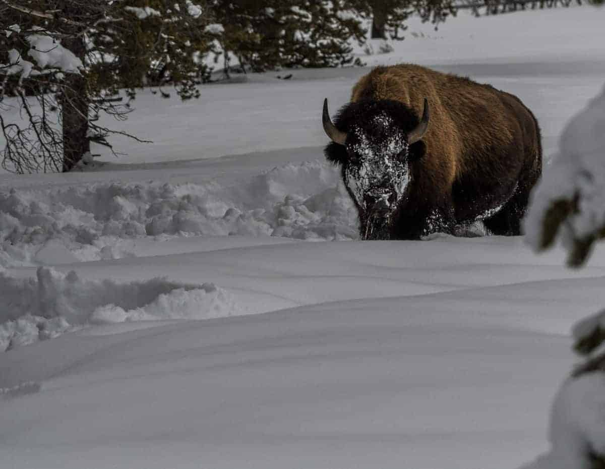 Bison with snowy face at Yellowstone in the winter.