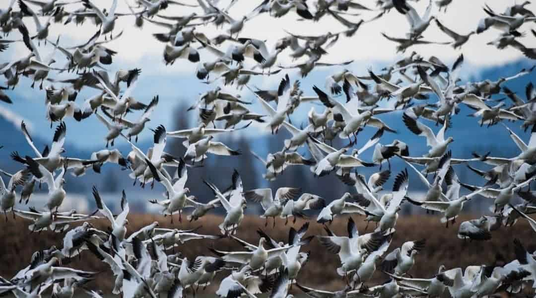 Snow geese fill the frame in this image.
