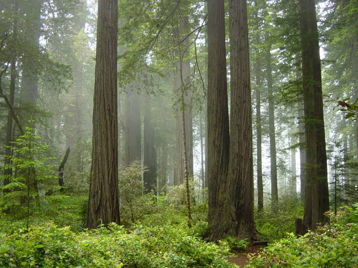 Foggy scene at Redwood National Park.