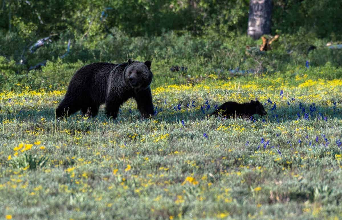 Grizzly bear and cubs at Grand Teton in May.