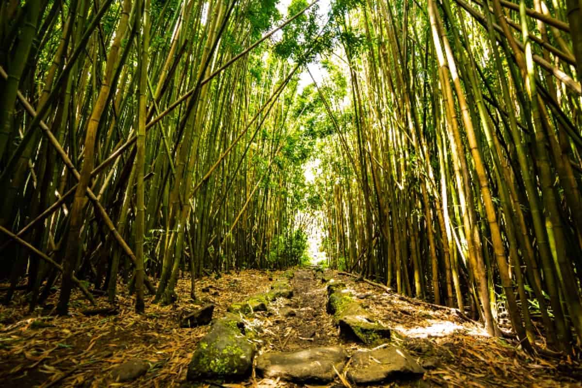 Walk through a bamboo forest on the Pipiwai hiking trail in Hawaii.