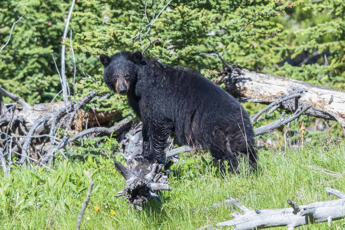 A black bear in Yellowstone during the summer.