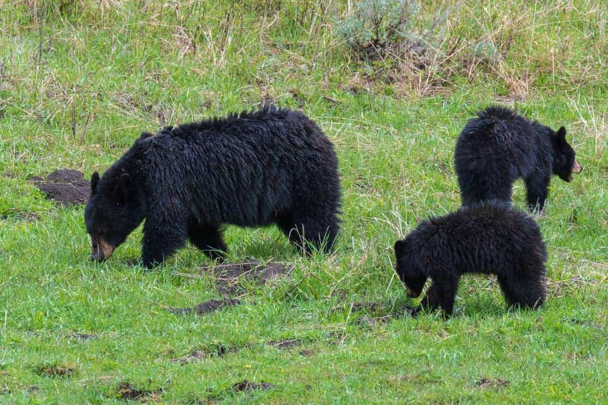 Black bear mom and two cubs in Yellowstone