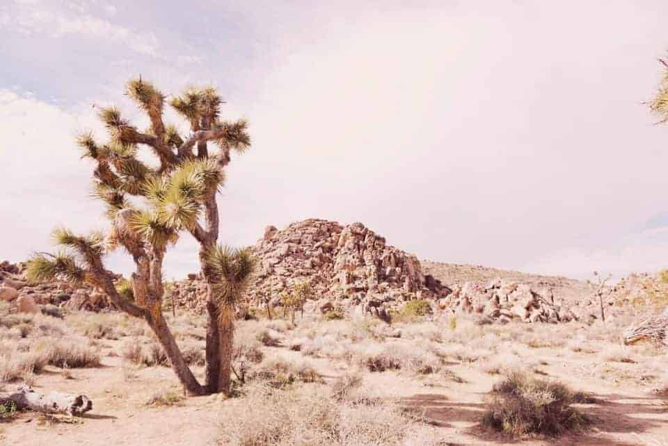 Joshua Tree National Park in March