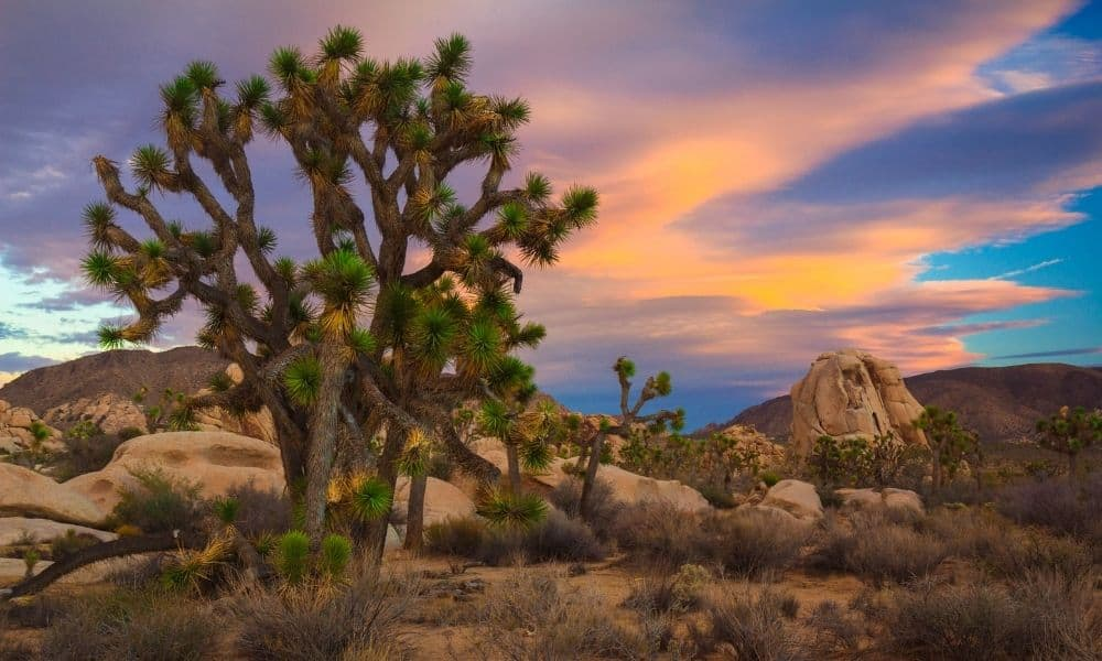 joshua tree national park in the spring